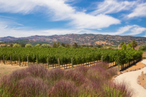 Black Stallion Estate Winery_Vineyards
